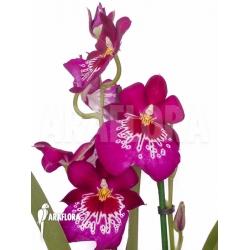 Miltonia hybrid