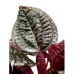 Monolena primuliflora 'Metallic'