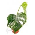 Monstera deliciosa variegata White One 'M'