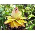 Heilige lotus Banaan 'Musella Lasiocarpa'