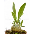 Mierenplant 'Myrmecodia beccarii'