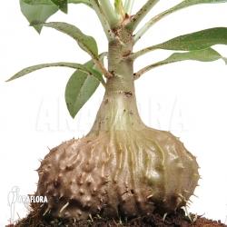 Myrmecodia tuberosa 'L'