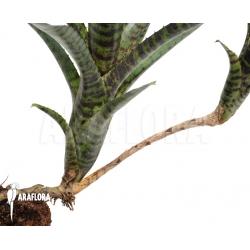 Neoregelia ampullacea 'Black Tiger'