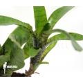 Bromelia 'Neoregelia ampullacea' 'Green Tiger' (S)