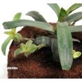 Bromelia 'Neoregelia lilliputiana'