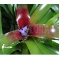 Bromelia 'Neoregelia schultesiana' 'Fireball' (XL)