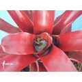 Bromelia 'Neoregelia schultesiana' 'Fireball'