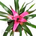 Bromelia 'Neoregelia' x 'Purple star'