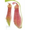 Tropische bekerplant 'Nepenthes gracilis'