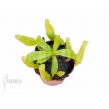 Tropische bekerplant 'Nepenthes gymnamphora 'Starter''