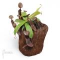 Tropische bekerplant 'Nepenthes sanguinea' 'L'