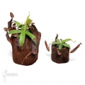Tropische bekerplant 'Nepenthes sanguinea' 'XLlvm'