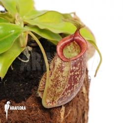 Nepenthes x hookeriana 'XL'
