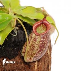 Nepenthes x hookeriana 'XL'