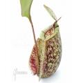Tropische bekerplant 'Nepenthes x hookeriana' 'Dark'