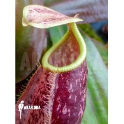 Nepenthes x suki
