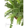 Nephrolepis cordifolia 'Duffii'