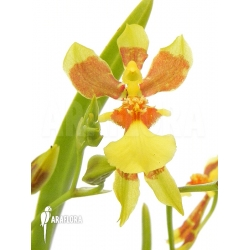 Oncidium unknown mini