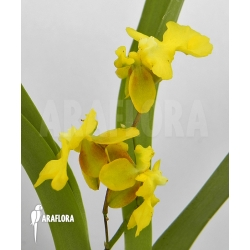 Oncidium x 'Lemon surprise'