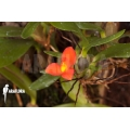 Orchidee 'Ornithidium sophronitis 'mounted'