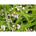 Orchidee 'Ornithophora radicans'