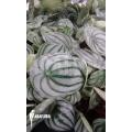 Peperomia argyreia