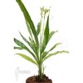 Orchidee 'Phaius tankervilleae'