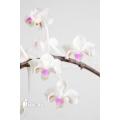 Orchidee 'Phalaenopsis celebensis'