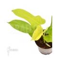Philodendron 'Golden violin' Starter