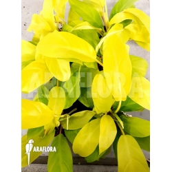 Philodendron Malay Gold 'Starter'