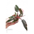 "Philodendron Pink Princess ""Starter"""