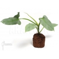 Philodendron hastatum 'Silver sword''Starter'
