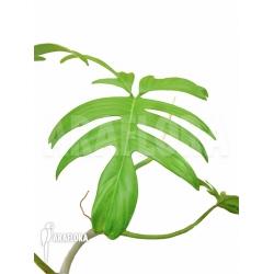 Philodendron laciniatum