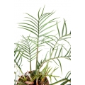 Philodendron polypodioides (tortum) L