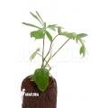 Philodendron radiatum