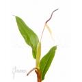 Philodendron species Murback II