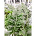 Philodendron species Narrow