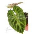 Philodendron verrucosum 'Big leaf' 'M'