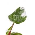 Philodendron x 'White Princess' 'B' 'Starter'