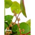 Pannekoek plant Pilea peperomioides