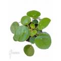 Pannekoek plant Pilea peperomioides Starter