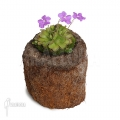 Pinguicula (Vetblad)
