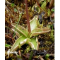 Vetblad ´Pinguicula alpina'
