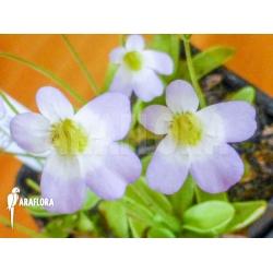 Pinguicula crystallina subsp. Hirtiflora