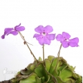 Vetblad 'Pinguicula cyclosecta'