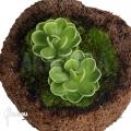 Vetblad ´Pinguicula ehlersiae'