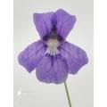 Vetblad ´Pinguicula grandiflora'