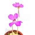 Vetblad 'Pinguicula moctezumae x P. agnata'