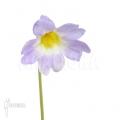 Vetblad ´Pinguicula primuliflora'