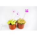 Vetblad 'Pinguicula Starter Package 2'